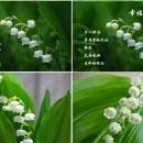 德国四季盆栽种球 铃兰花苗 铃兰球种根花卉植物当年开花带芽发货